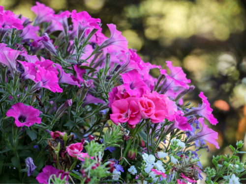 Annuals and Bedding